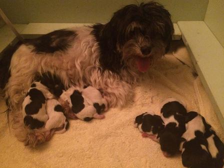 Carney's Havanese Haven, Havanese Puppies, Maxi's Puppies!