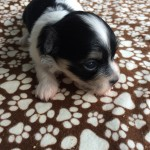 Puppy #5, a boy, is now Eric for one of my all time favorites, Eric Clapton! He weighs 1# 2.3 oz.