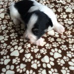 Named for Muddy Waters, another Blues legend, this is Puppy #6, a boy.