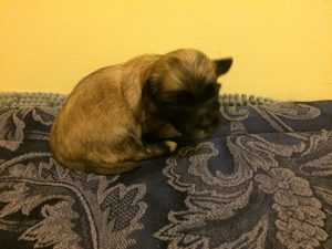 Puppy #6 is a medium sable girl. She has some white on her back paws and a white goatee!